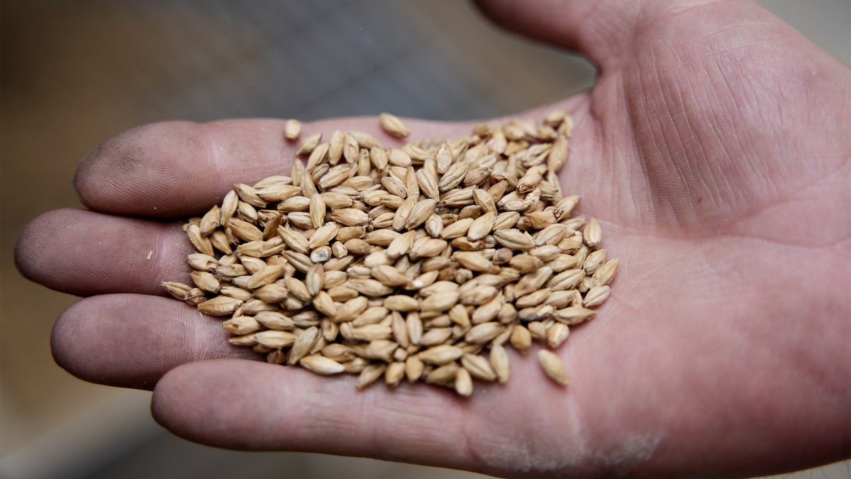 Barley in the palm of a hand